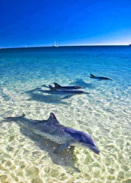 Dolphins at Monkey Mia Australia
