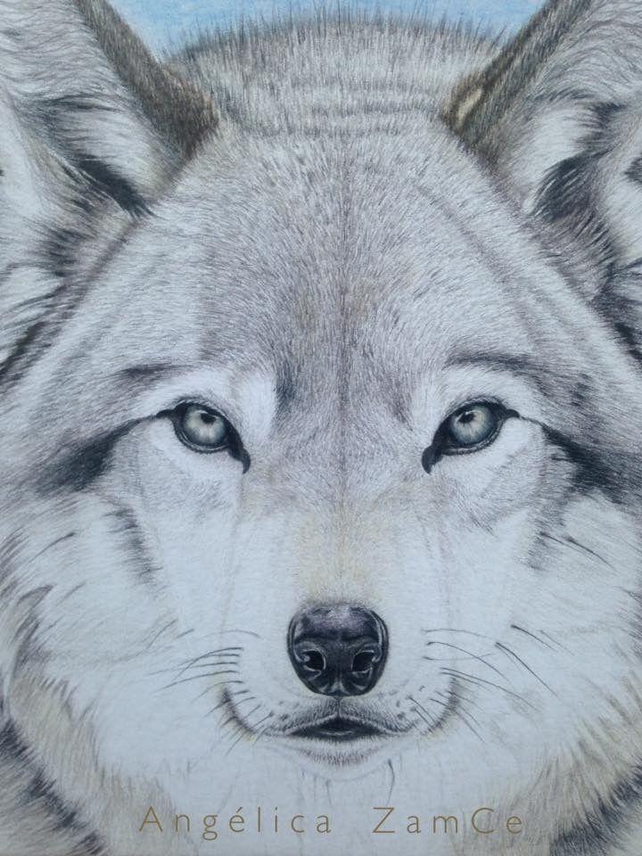 Wolf in colored pencils. Lobo en lápices de colores.