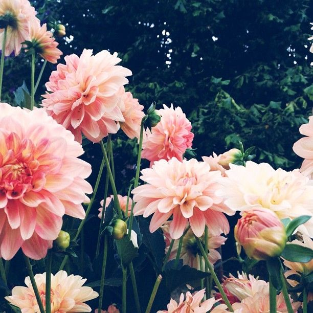 Dahlias . . . #gorgeous . LOVE the bright colors. Reminds me of Pink #Jade  https://www.etsy.com/shop/ElleBernard/search?search_query=pink+jade&order=date_desc&view_type=gallery&ref=shop_search