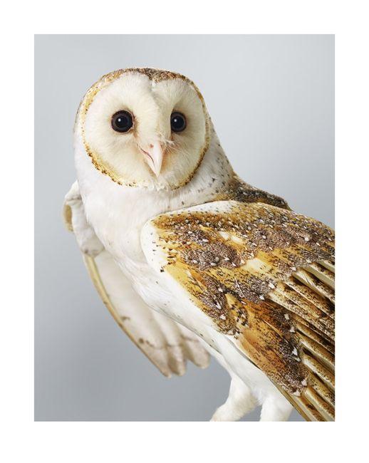 "OLSEN IRWIN stockroom featuring available works | © Leila Jeffreys 'Ivy' Barn Owl"">"