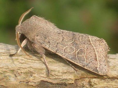 Vlindernet: Website over alle Nederlandse soorten dagvlinders en macronachtvlinders : De tweestreepvoorjaarsuil vliegt van eind februari-begin juni in één generatie. Foto: Bob van de Dijk