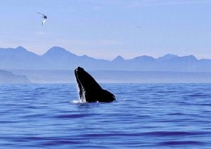 Whale watching In Plettenberg Bay