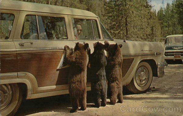 American Black Bear Cubs Bears