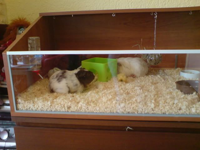 68 best images about guinea pig stuff on pinterest for Homemade guinea pig