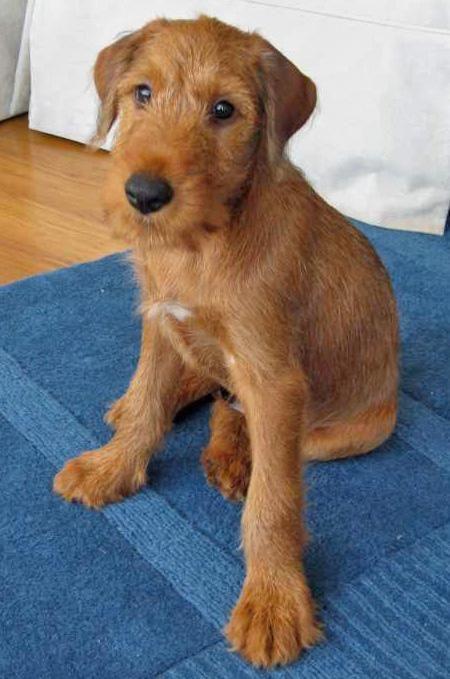 53. Terrier Irlandés | Pertenece al grupo de Terriers. Altura promedio: 45.7 a…
