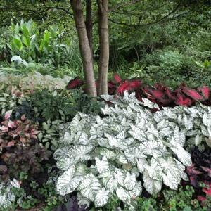 garden.caladiums