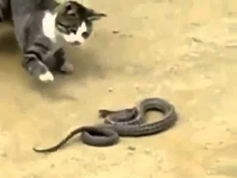 funny animal cat fight vs snake