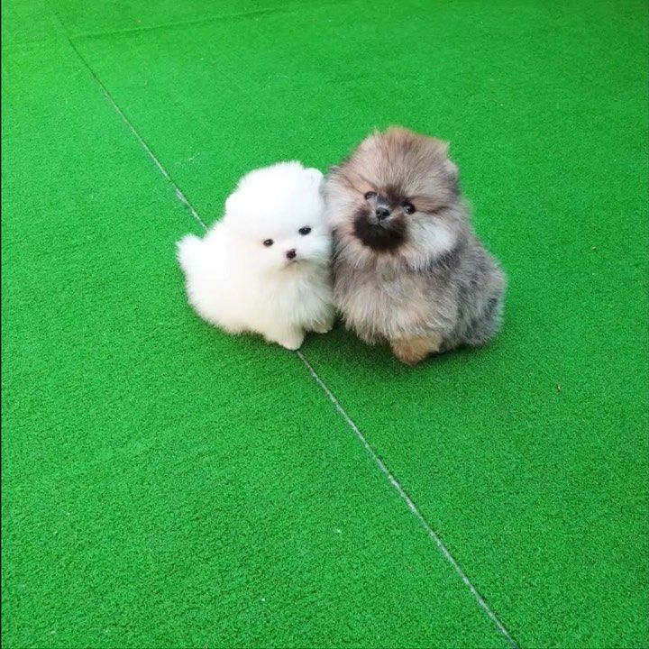 White Teddy Bear Brown Teddy Bear Https Www Alohateacuppuppies Com For More Information Please Contact U Teddy Bear Dog Dog Love White Teddy Bear