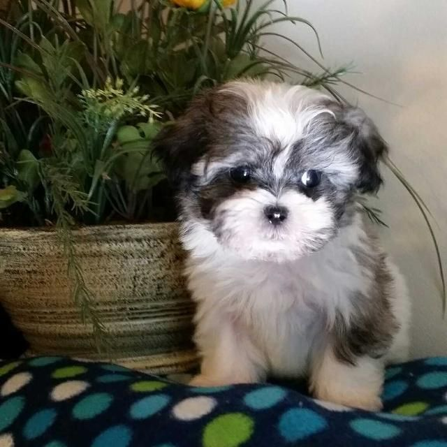 Shih Tzu Puppy Development 7 Shih Tzu Puppy Puppy Development