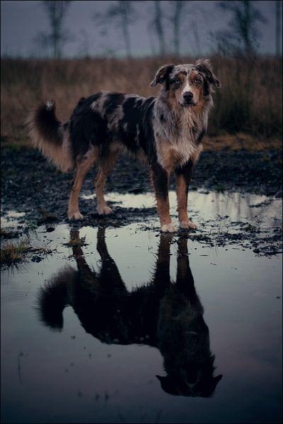 Aussie ~ Find more amazing #dog photos at: http://pinterest.com/HolidayHounds/amazing-dog-photos/