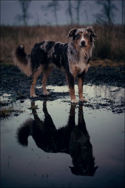 Aussie ~ Find more amazing #dog photos at: http://pinterest.com/HolidayHounds/amazing-dog-photos/