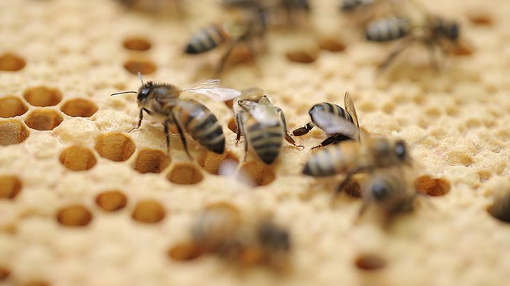 Bee News: There are no wild honey bees left in the UK and commercial hives are at an   all-time low. Can new apprentice beekeepers save our furry friends?