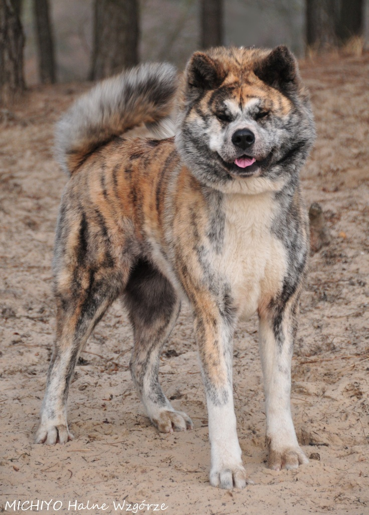 Japanese Akita inu dog - MICHIYO  www.fuennooka.pl