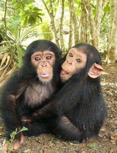Chimpanzees cudles another Chimpanzee
