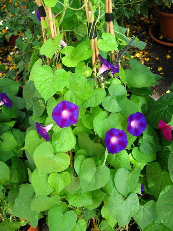 Las plantas trepadoras de más rápido crecimiento. Se trata de plantas anuales o de temporada pero que en climas benignos son vivaces. Las más rápidas son: La Ipomea (CAMPANILLA - MORNING GLORY) y el guisante de olor (Lathyrus odoratus)