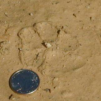 Bobcat Tracks - Images