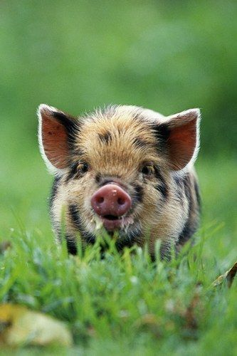 Little pig!