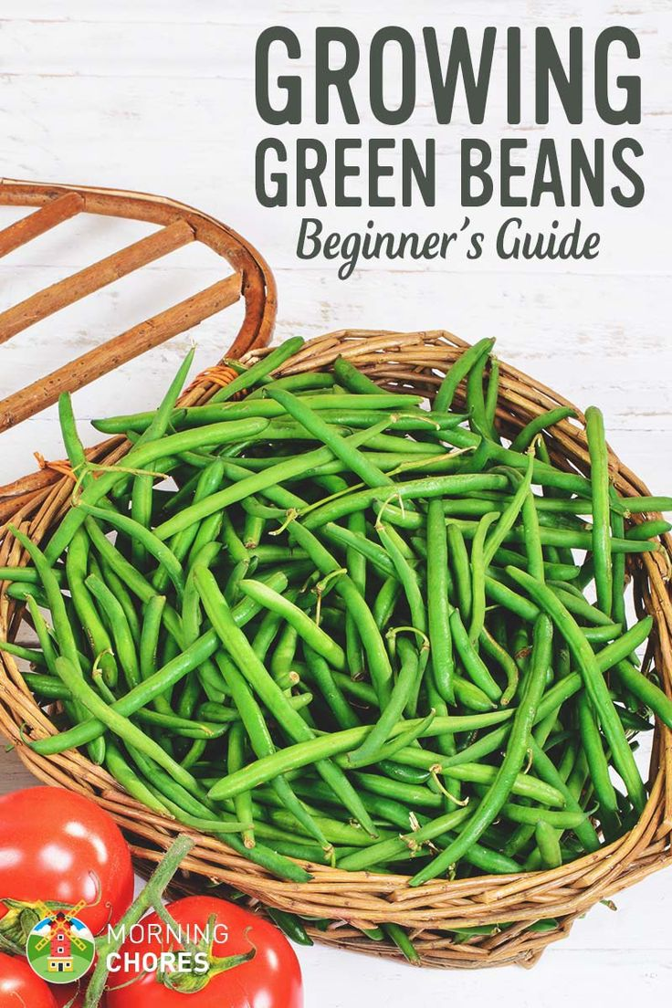 Beginners Guide to Growing Green Beans