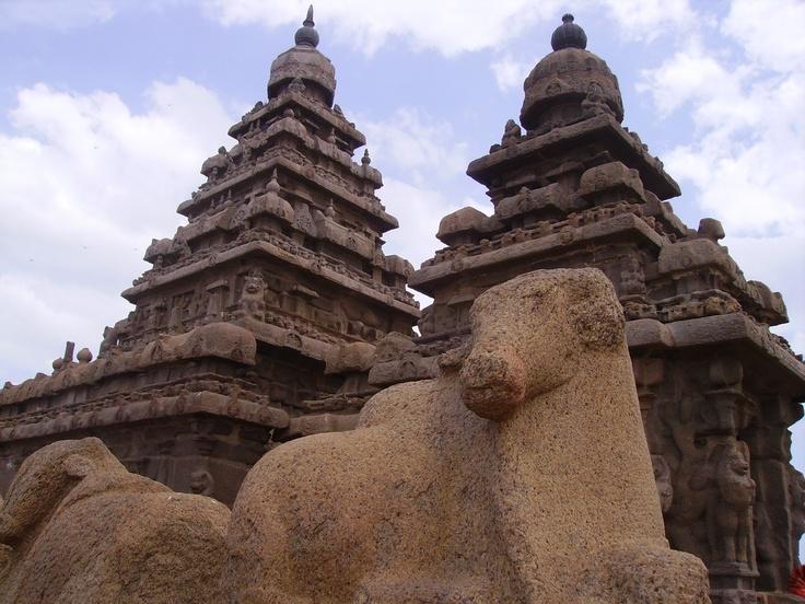 India Mamallapuram Cow