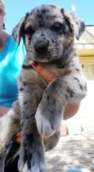 Betsy is an adoptable Labrador Retriever Dog in Red Lodge, MT. Cuddly, playful, awkward, pudgy, curious and adorable, Betsy was born near June 1. She is a delightful mixture of German Shepherd, Husky,...