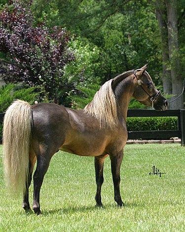 american shetland pony | chestnut american shetland pony | Flickr - Photo Sharing!