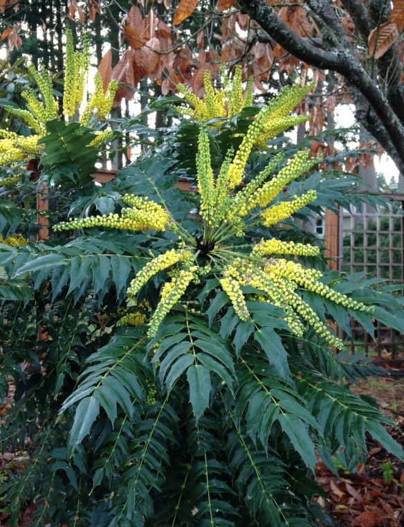 Mahonia x media 'Charity' (Oregon Grape hybrid  for the stoop containers