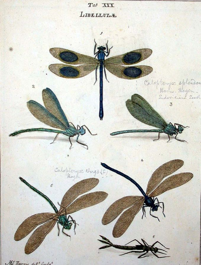 I love this Libellulidae poster!