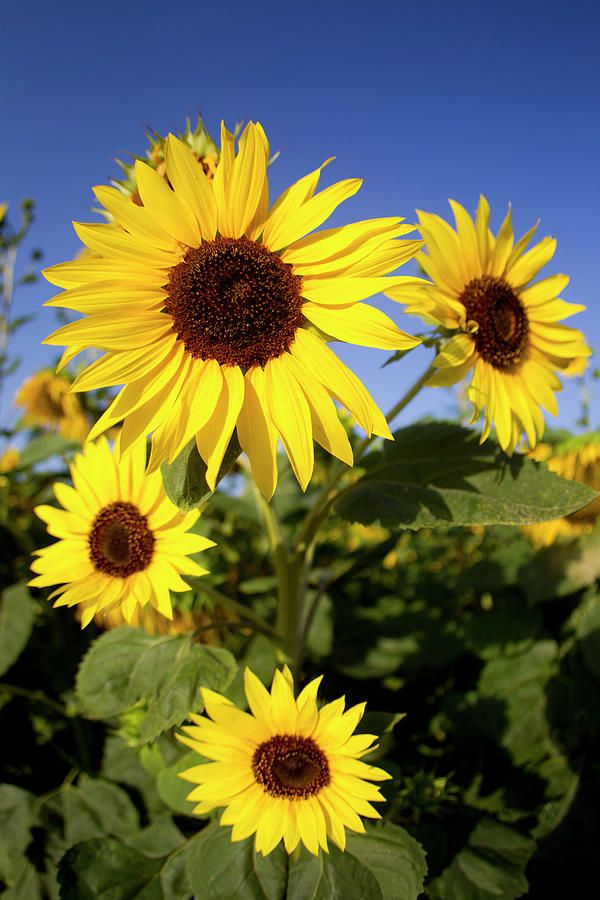 Sunflower Fields In Tuscany, Italy - color inspiration for kitchen -- love the green, yellow and brown