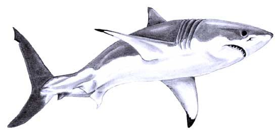 great white shark sketch | Great White Shark Sketch 1 by =SteelJaw on deviantART