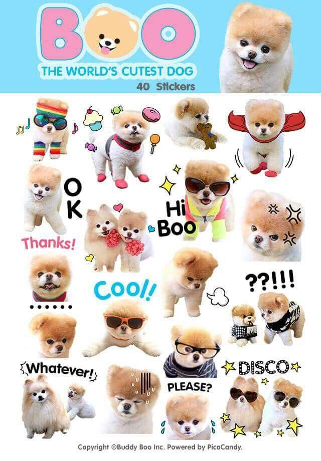 Boo - the world's cutest dog!