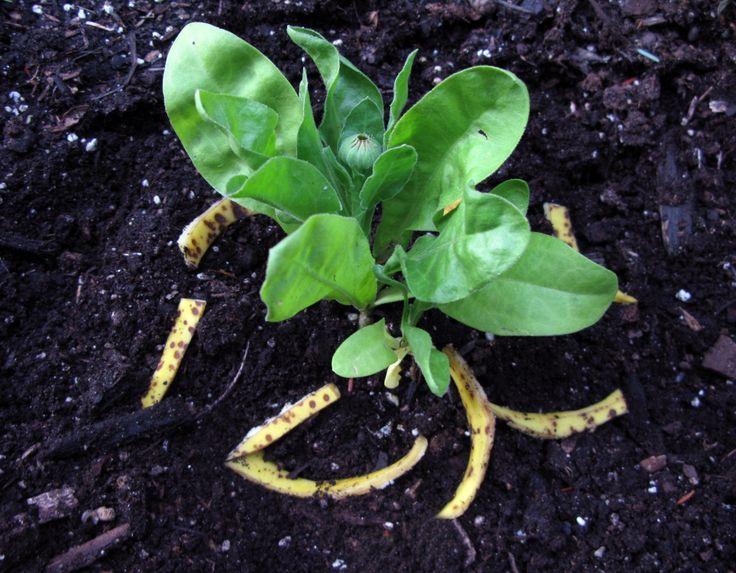 Цветы и клумбы: Банановые шкурки для удобрения цветов