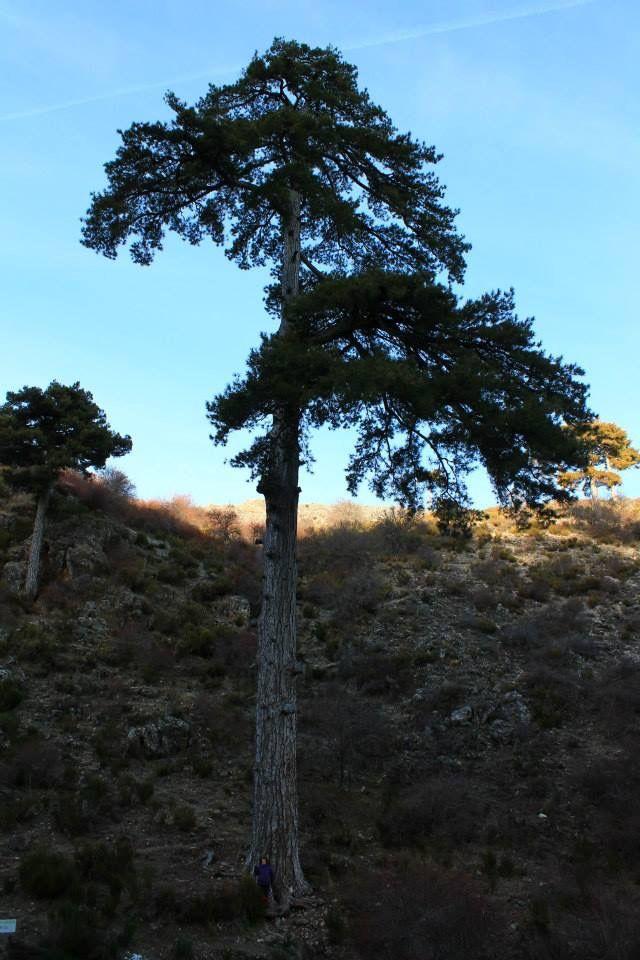 Pino Galapán ( Sierra de Segura, Jaén )