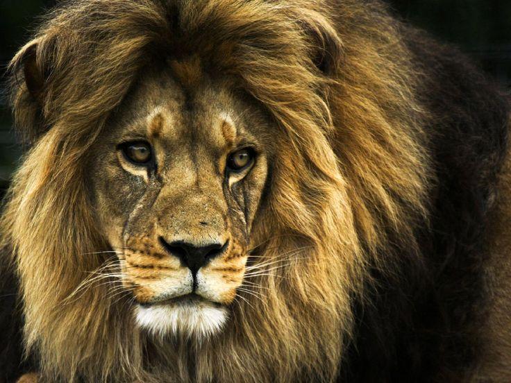 Pretty lion.