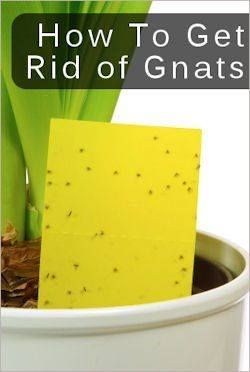 Homemade Gnat TrapYou'll need a bright yellow index card (not sure why that one works, but the other colors don't seem to) anyway, Attach a straw, chopstick, or shish kebob stick to one side of the card with hot glue or tape. Then on the other side, smear bright yellow index cards with  Vaseline or Honey. Insert the stick/straw end into soil of a houseplant & place it near areas where there are tons of Gnats.
