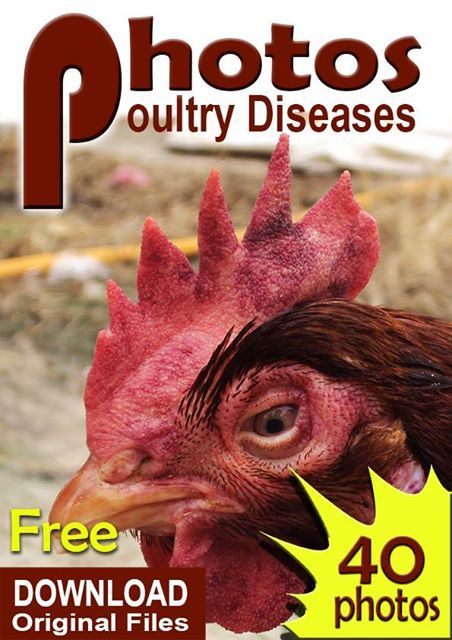 FREE, Poultry Diseases Original Pictures for learning materials, download and share the link below. thanks   https://drive.google.com/file/d/0B4IgyykE0nFaVGt5NzNqSWhpRDQ/view?usp=sharing