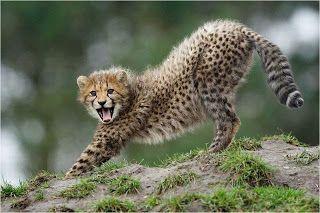 Guepardo, também conhecido como Chita, Lobo-tigre, Leopardo-caçador ou Onça-africana, (Acinonyx jubatus), é um animal da família dos felídeos (Felidae). É a única espécie vivente do gênero Acinonyx. Tendo como habitat a savana, vive na África, Península Arábica e no sudoeste da Ásia.