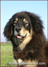 Tibetan Mastiff (Tibetan Dog, Do Khyi, Phyu-khi)