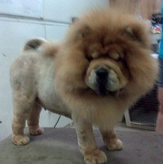 Lion Cut Grooming For Dogs