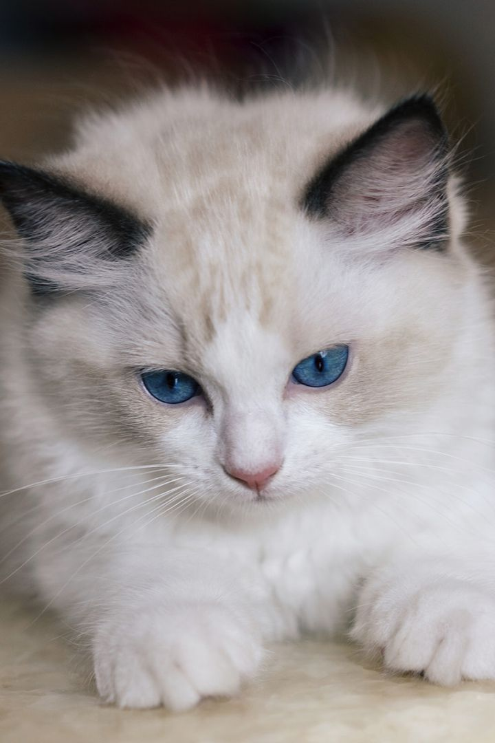 Do Ragdoll Cats Shed In 2020 Ragdoll Cat Cat Shedding Gorgeous Cats