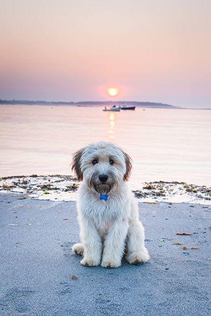 Waffles, a soft-coated Wheaten terrier from Southampton, Massachusetts via Garden & Gun