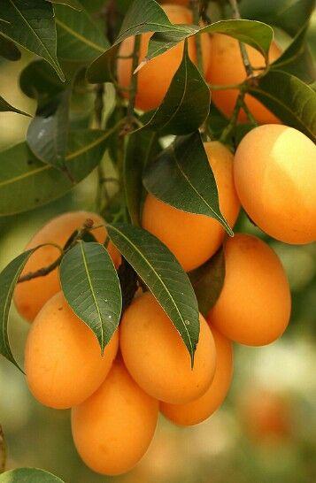 Thai fruits : Marian plum ,Nakorn nayok, Thailand