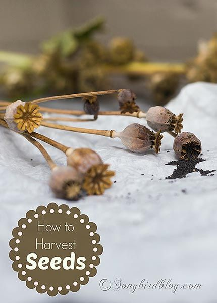How to harvest seeds for your flower garden. It is easy, but you got to follow some rules. http://www.songbirdblog.com