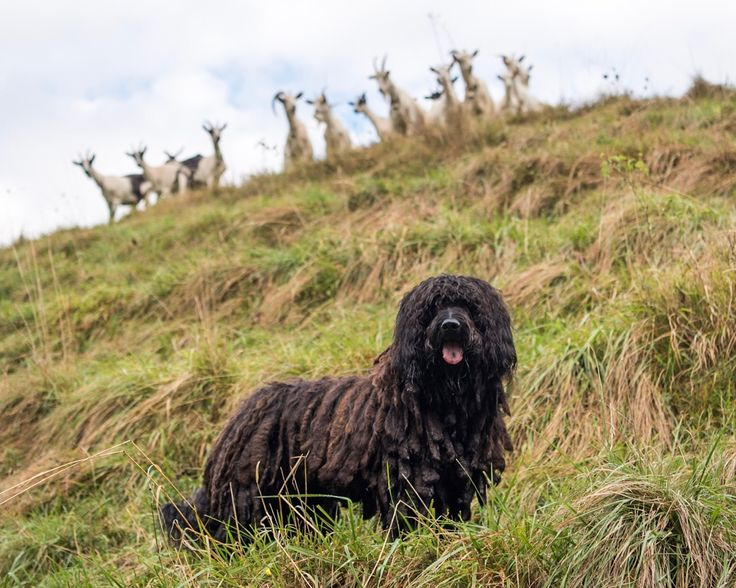 """Lieto, Bergamasco (9 y/o), Envelier, Vermes, Switzerland • """"Their corded hair protects them from bites from wolves, snakes and insects; ticks don't like their coats. They don't smell like dogs, they..."""