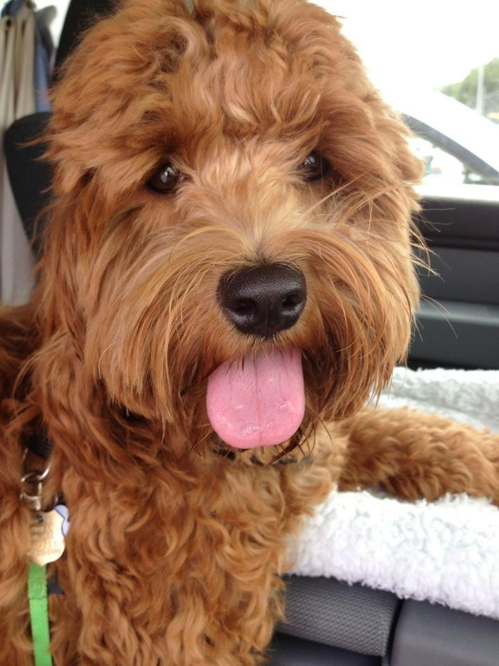 Cockapoo puppy for sale near Nebraska