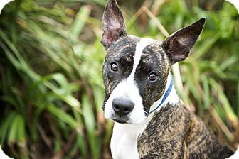 Baltimore, MD - American Staffordshire Terrier/Plott Hound Mix. Meet Maggie May, a dog for adoption. http://www.adoptapet.com/pet/17103648-baltimore-maryland-american-staffordshire-terrier-mix