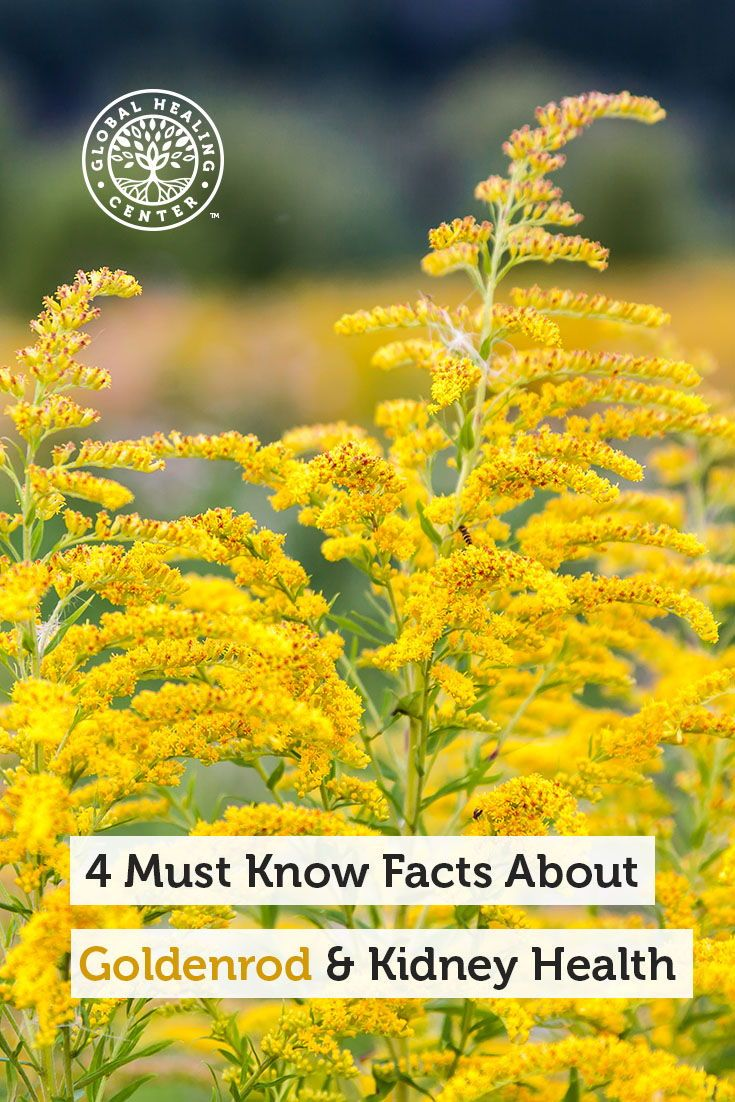 4 Must Know Facts About Goldenrod And Kidney Health Kidney Health Health Health Articles