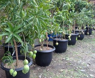 jual bibit buah buahan,jual bibit tanaman buah cangkokan,jual bibit tanaman buah impor,jual bibit tanaman buah langka,jual bibit tanaman buah trubus,jual bibit tanaman buah unggul,