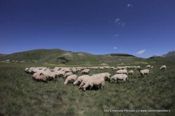 Recupero della popolazione autoctona capra della Valnerina