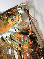 """American lobster - Also known locally as the """"northern lobster"""", """"Maine lobster"""" or simply """"lobster"""".Profile of the anterior part of an American lobster. Homarus americanus commonly reaches 8–24 inches (200–610 mm) long and weighs 1–9 pounds (0.45–4.08 kg) in weight, but has been known to weigh as much as 44 lb (20 kg), making this the heaviest crustacean in the world."""