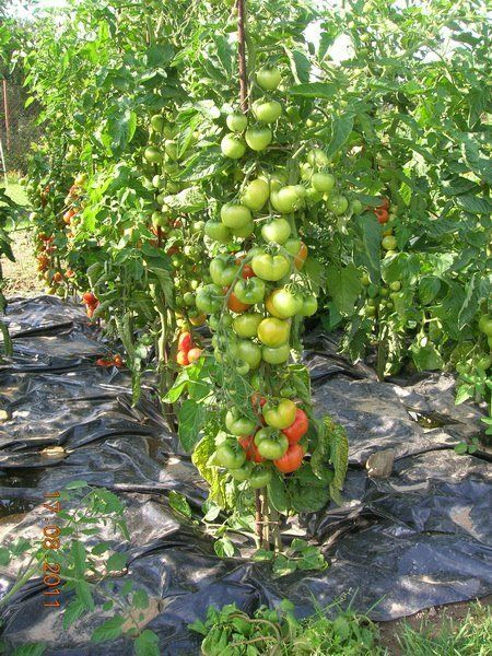 Урожайные помидоры на пленке